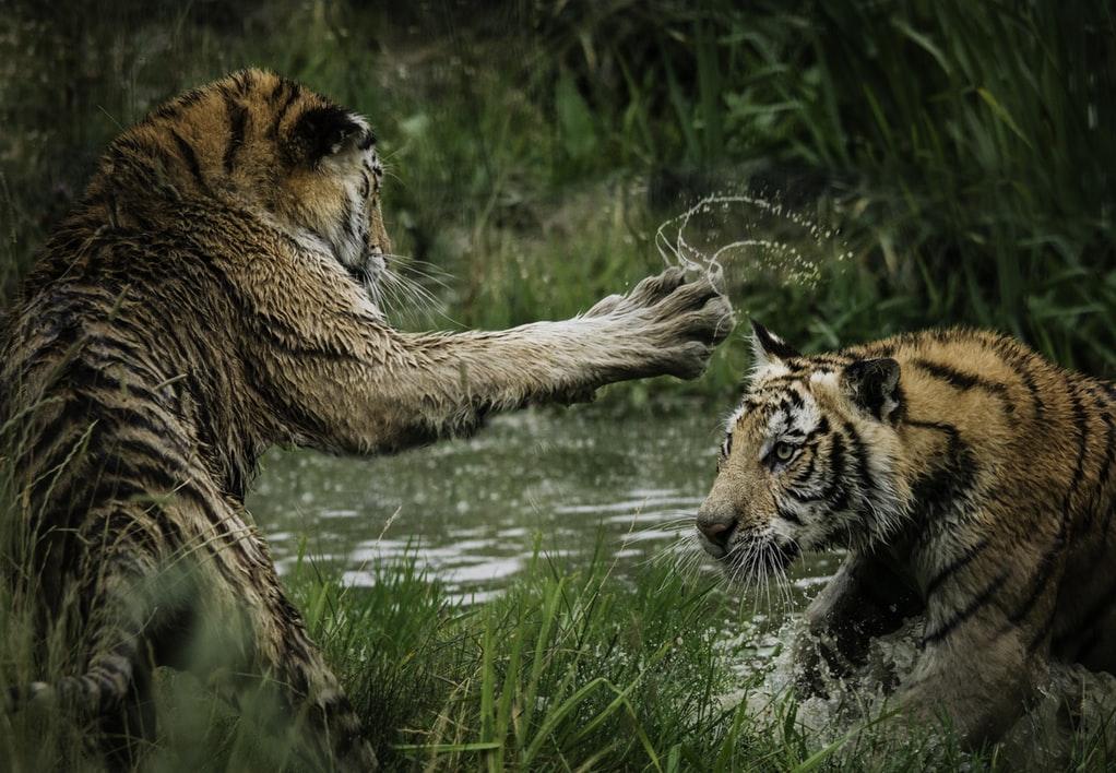 戦っているトラの写真